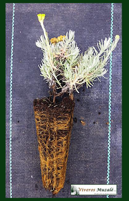 Helichrysum-stoechas-AF.001
