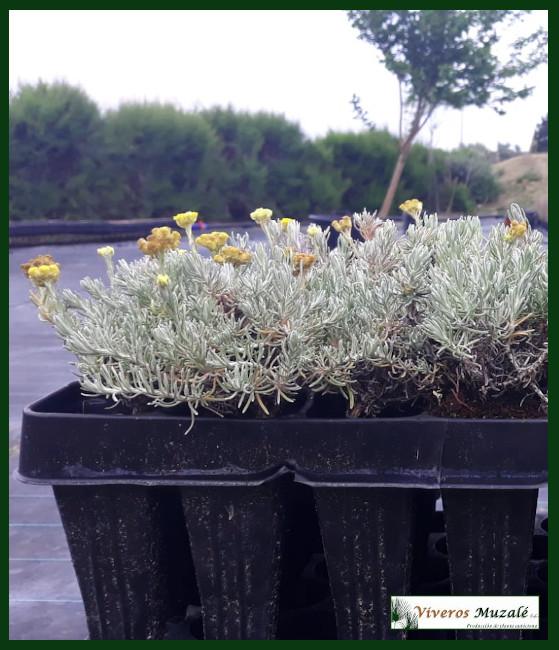 Helichrysum-stoechas-AF.002