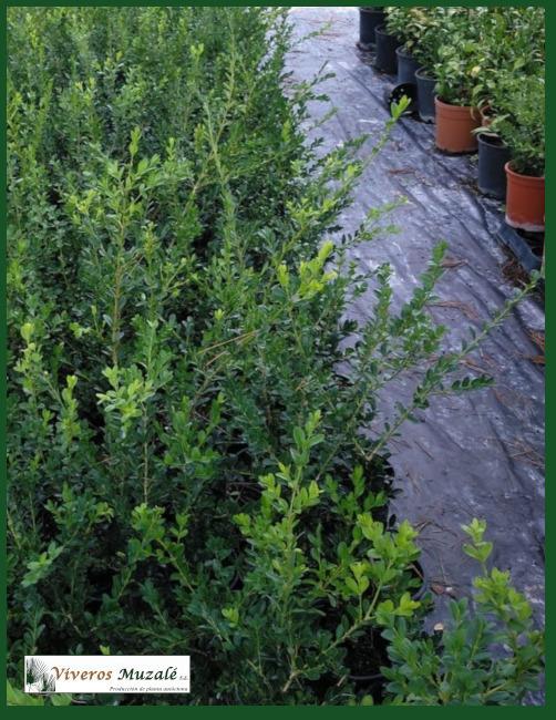 Buxus sempervirens 23-09-2020
