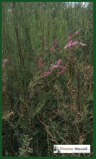 tamarix canariensis.3920