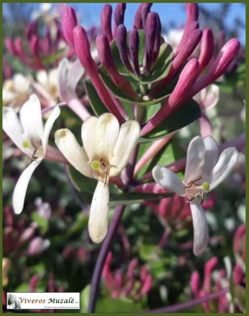 LONICERA IMPLEXA flor