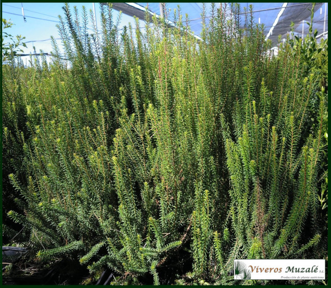 Erica-multiflora.1
