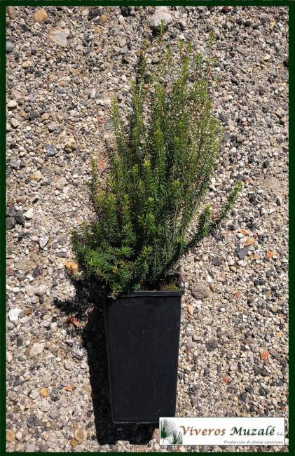 Erica-multiflora.cont.1