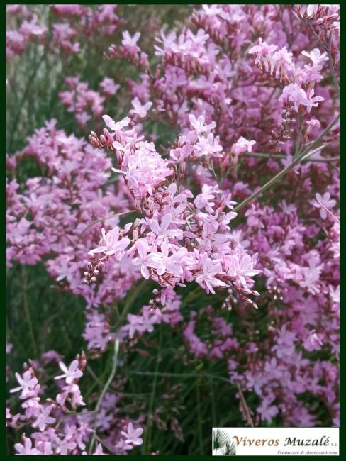 Limonium caesium flor 1