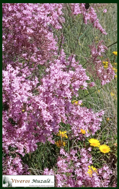 Limonium caesium flor 3